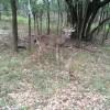 Deer on McCallister