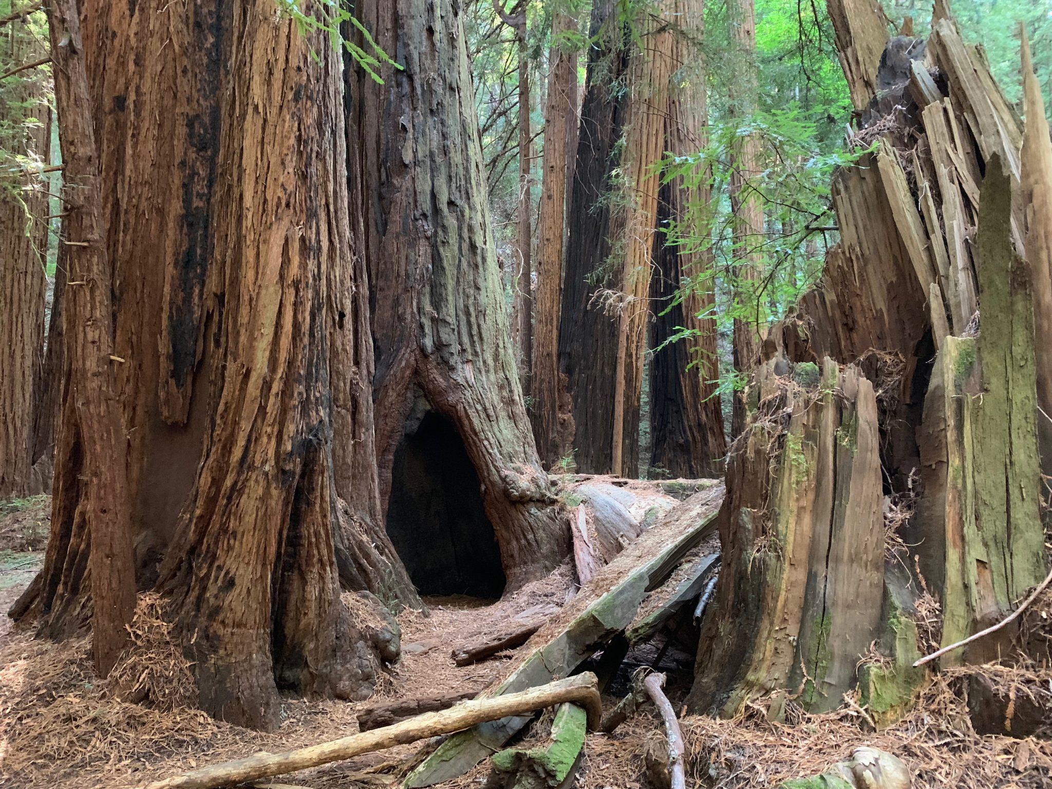 Grove In Muir Woods