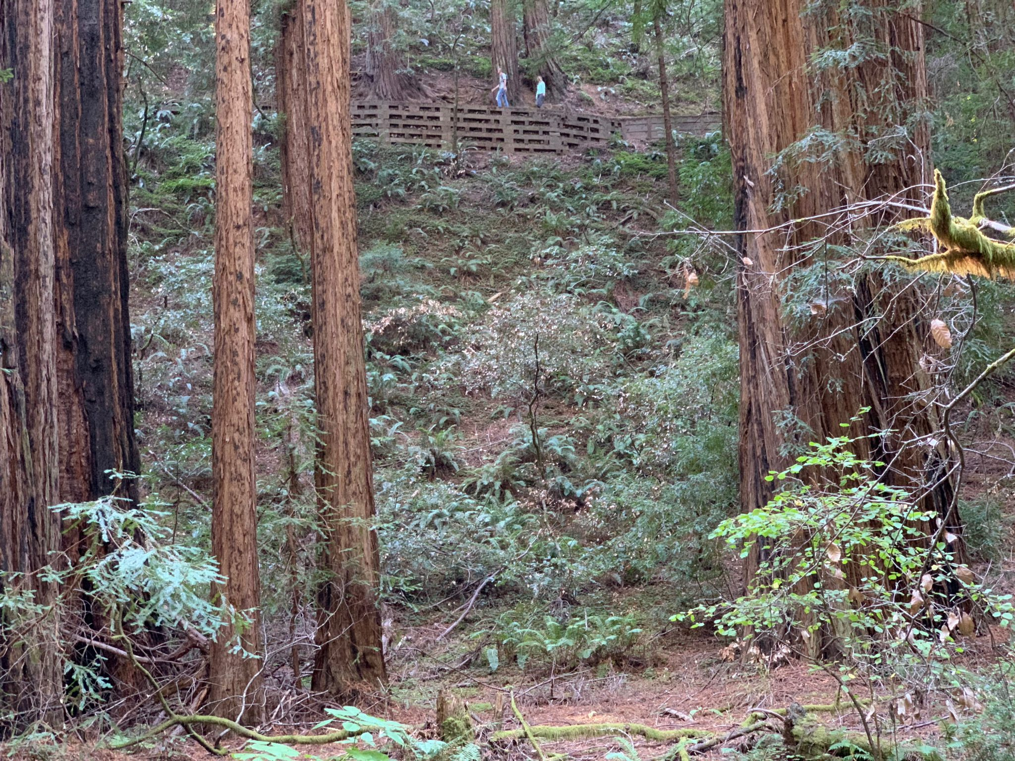 Looking up at Hillside Trail Muir Woods